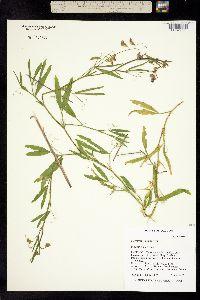Image of Lathyrus hirsutus