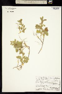 Image of Lathyrus japonicus