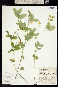 Image of Lathyrus nevadensis