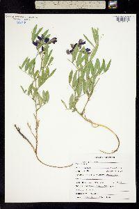 Lathyrus polymorphus image