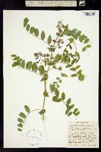 Image of Lathyrus polyphyllus