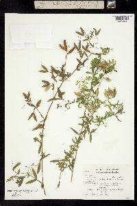 Image of Lathyrus pratensis