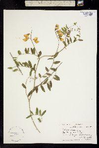 Image of Lathyrus splendens