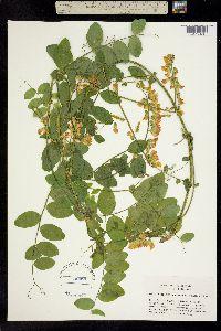 Image of Lathyrus sulphureus