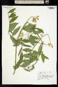 Image of Lathyrus vestitus