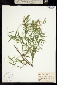 Image of Lathyrus tracyi