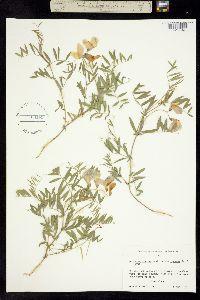 Image of Lathyrus polymorphus ssp. polymorphus