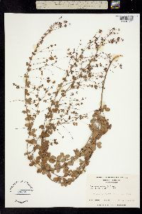 Image of Hedysarum repens