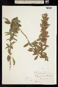Image of Lespedeza frutescens