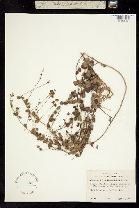 Image of Hedysarum violaceum