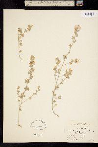 Image of Hosackia argophylla