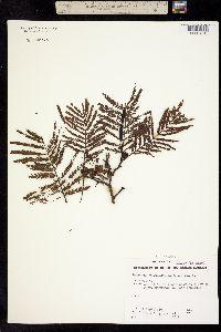 Image of Leucaena esculenta