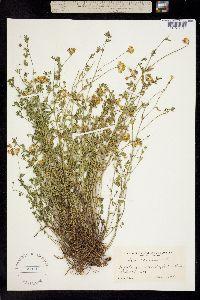 Lotus corniculatus image