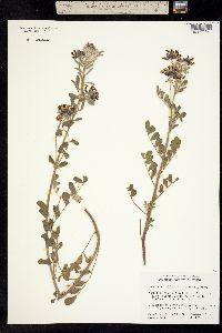 Image of Lotus crassifolius