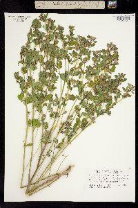 Lotus denticulatus image