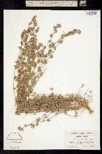 Image of Hosackia sulphurea