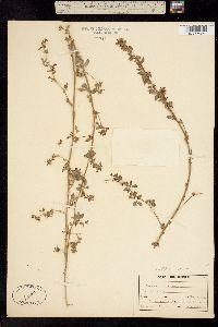 Image of Hosackia tomentosa