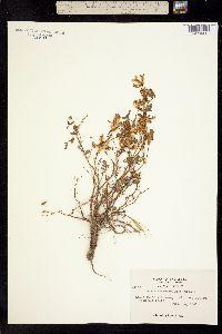 Image of Hosackia gracilis