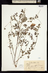 Image of Hosackia grandiflora