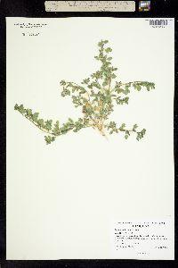 Acmispon brachycarpus image