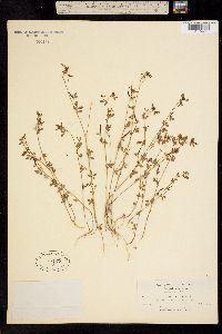 Image of Acmispon parviflorus