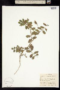 Image of Lotus balsamiferus