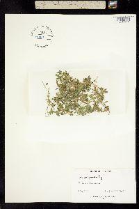 Image of Acmispon wrangelianus