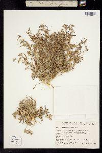 Lotus strigosus var. tomentellus image