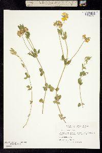 Image of Lotus uliginosus