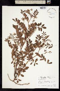 Image of Hosackia rosea