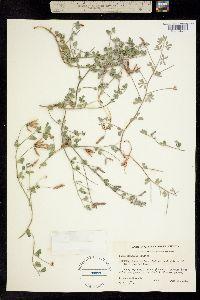 Image of Lotus mearnsii