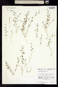 Image of Acmispon prostratus