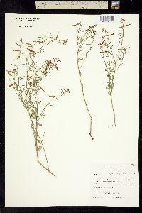 Ottleya oroboides image
