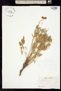 Image of Lupinus albicaulis