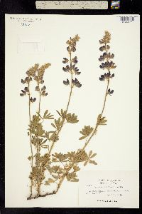 Image of Lupinus albifrons