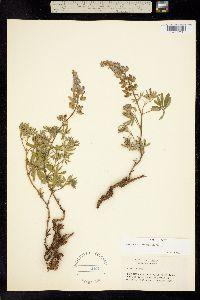 Lupinus andersonii image