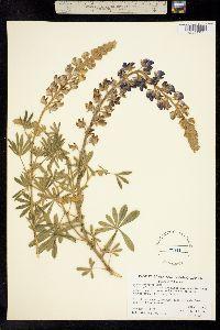 Image of Lupinus arboreus
