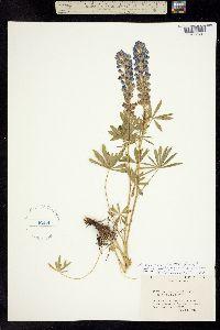 Image of Lupinus arbustus