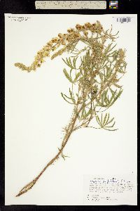 Lupinus garfieldensis image
