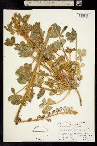 Image of Lupinus hirsutissimus