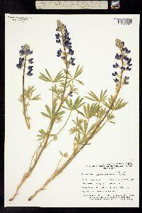Image of Lupinus holmgrenianus