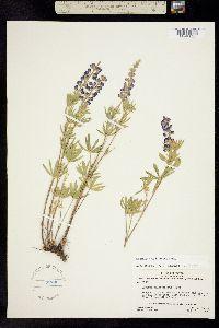 Lupinus holosericeus image