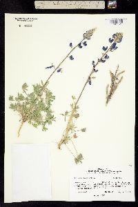 Image of Lupinus havardii