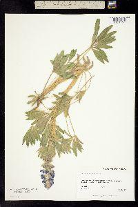 Image of Lupinus kuschei