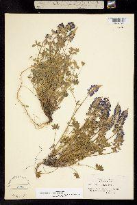 Lupinus lepidus subsp. medius image