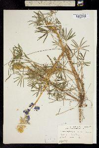 Image of Lupinus leptophyllus