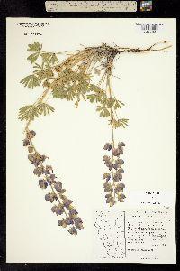Image of Lupinus lapidicola