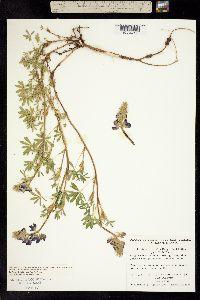 Image of Lupinus littoralis