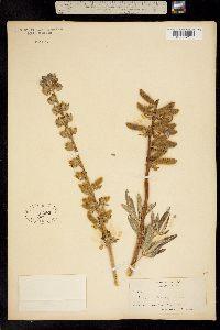 Image of Lupinus edwin-livingstonii