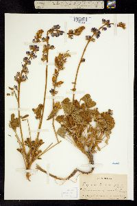 Image of Lupinus ludovicianus